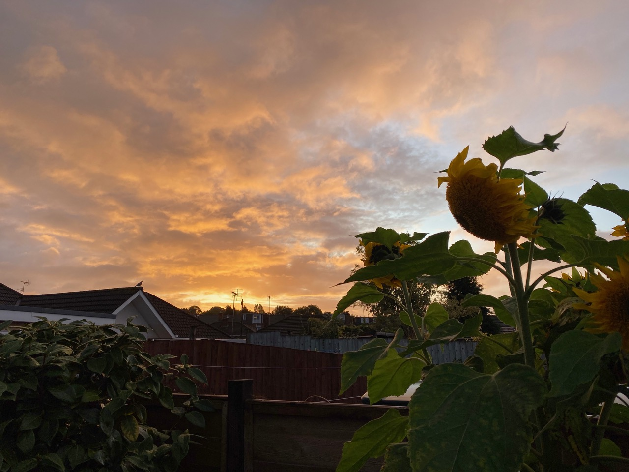 Sunflowers in early autumn sunrise with pink sky
